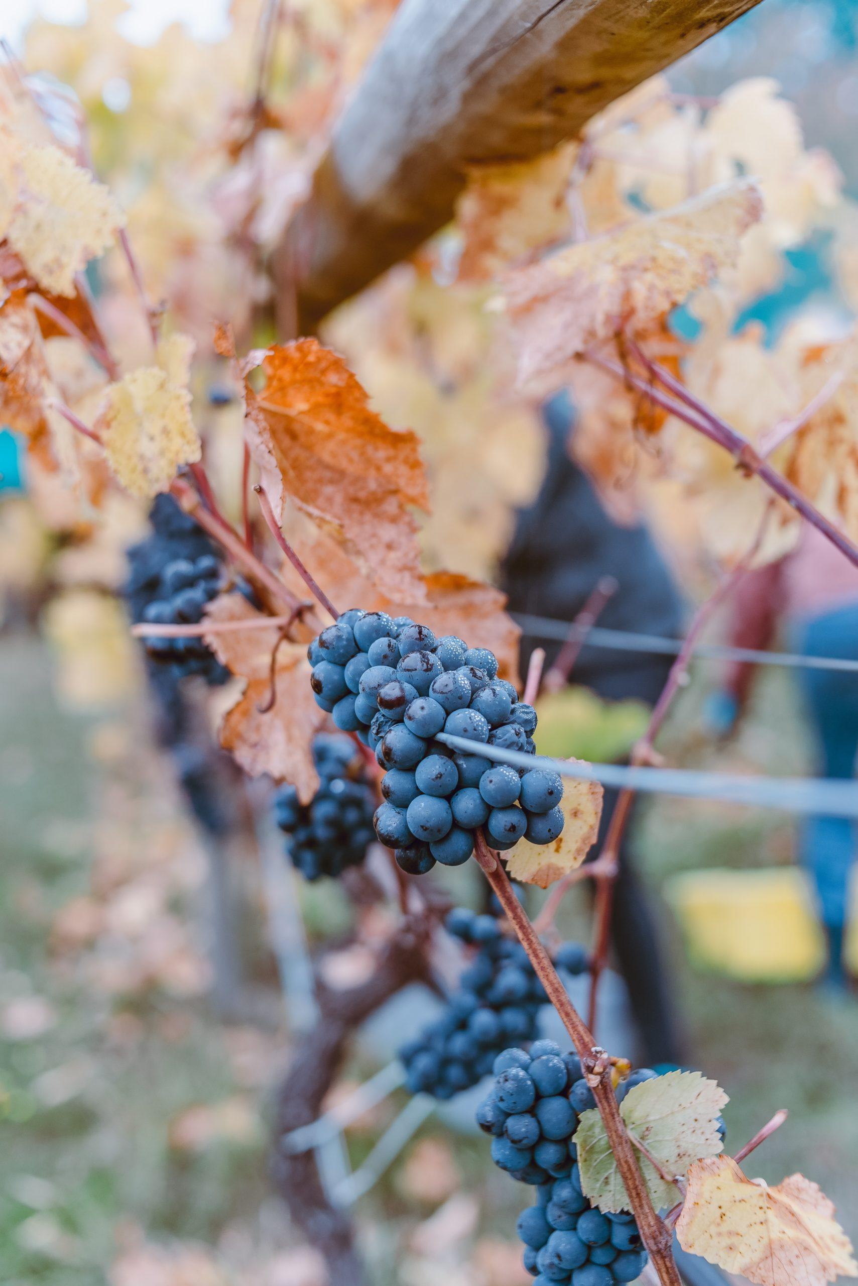 Grappe de raisin, vignoble de Cheverny